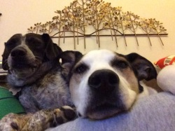 dogs-on-couch-closeup